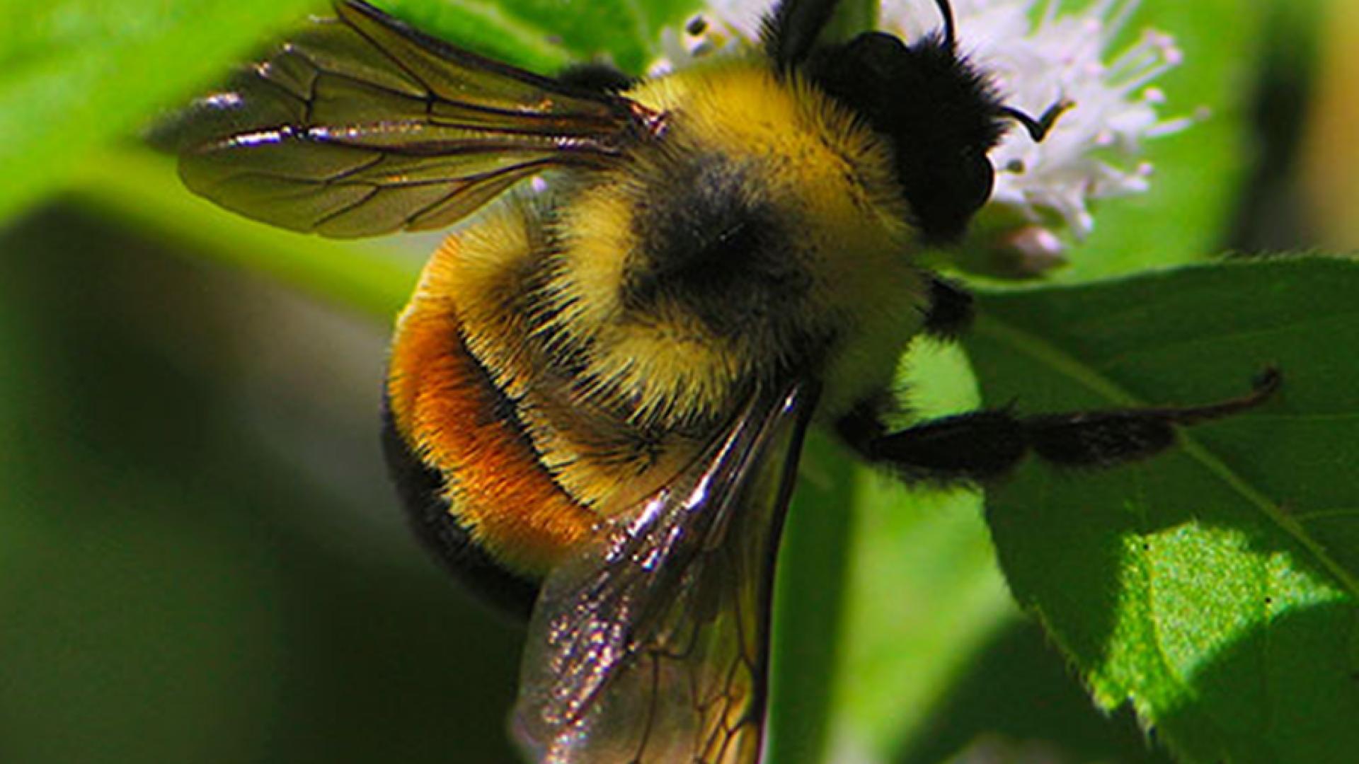 Bombus Arılarıyla Üretim